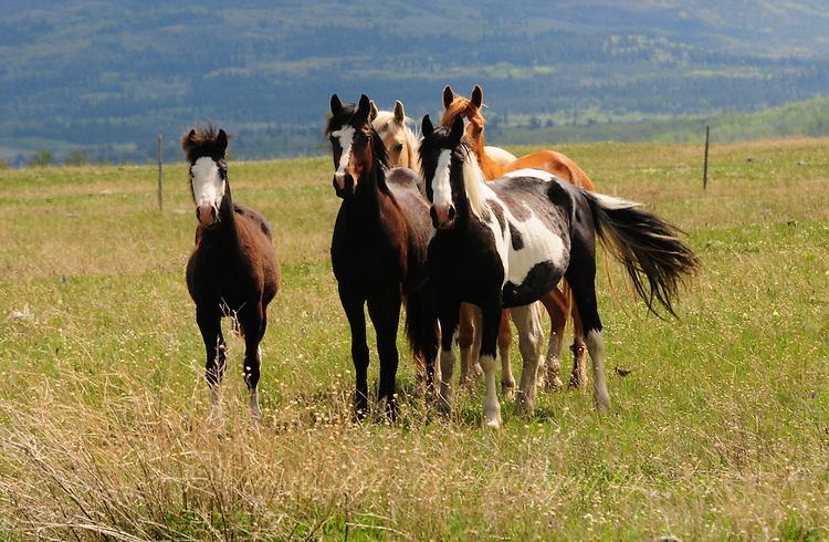 Blackfeet horses