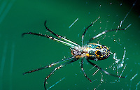 Close up of a Common Garden spider on a web.