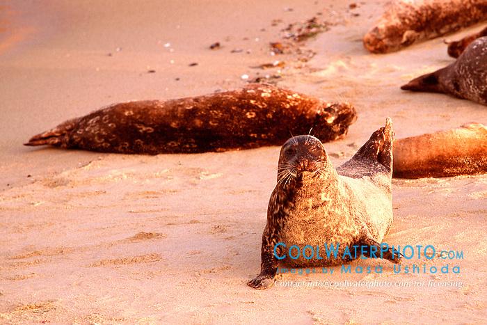 harbor seals at sunset, .Phoca vitulina, .La Jolla, San Diego, California