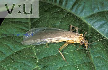 Brown Lacewing (Hemerobius sp.) insect eats aphids, USA