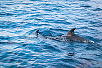 Spinner Dolphins swimming in Pacific Ocean, Maui, Hawaii.