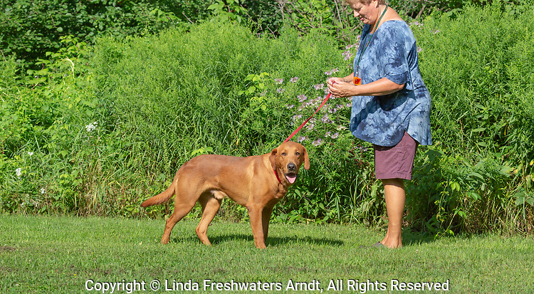 Fox red Labrador retriever with his owner.