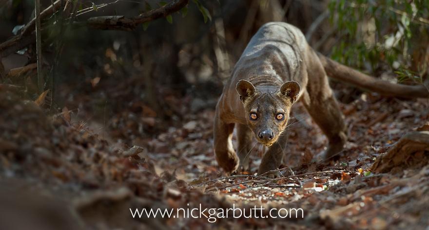 Adult male Fosa (Crytoprocta ferox) (sometimes incorrectly Fossa) prowling on deciduous forest floor. Kirindy Forest, western Madagascar.