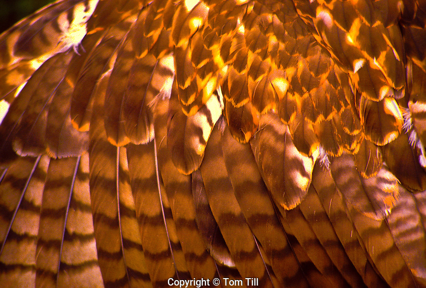 Detail of Feathers.  Red-tailed Hawk.  Range: Western U.S.
