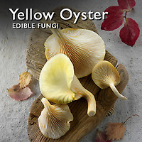 Pictures of Fresh Yellow Oyster Mushrooms  -  Food Photos, Images.