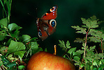 Peacock butterfly, Inachis io, in flight, high speed photographic technique, flying over garden with fallen apple.United Kingdom....