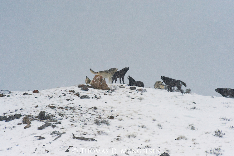 Wolves in  the Druid pack howl from a ridge on an early winter morning in Yellowstone National Park, Wyoming.