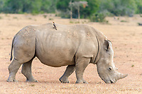 White Rhinoceros (Ceratotherium simum) with oxpecker (Buphagus sp.) on back, Ol Pejeta Reserve, Kenya, Africa