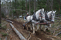 Leslie Allen logs with horses in the Adirondacks. It is less damaging to the environment as he selectively cuts and pulls logs out of the woods.