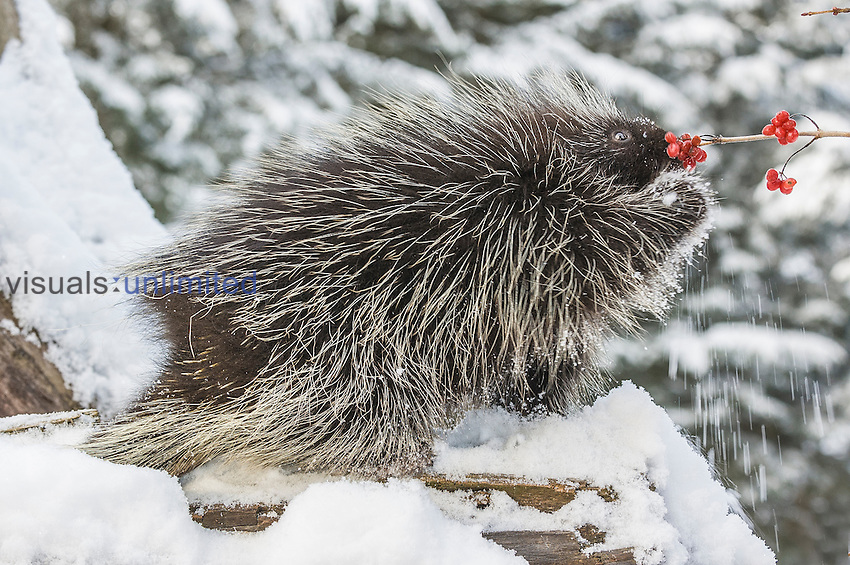 North American Porcupine (Erethizon dorsatum) feeding in snow, Alaska, USA. Captivity.