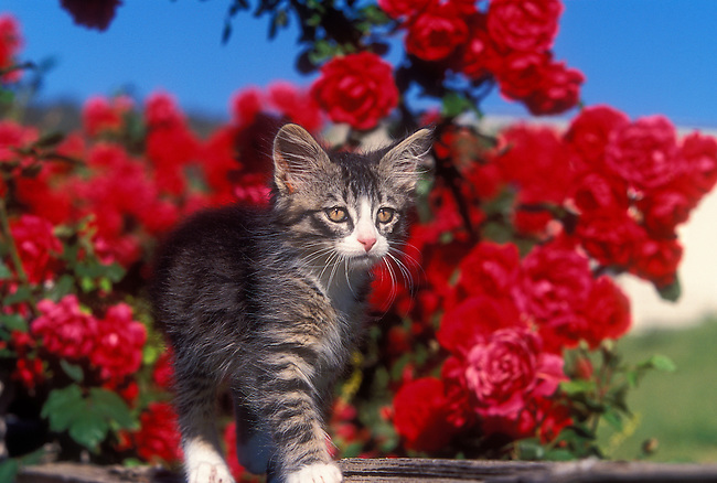 Domestic Kitten on Fence with Roses in the Background