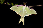 American Moon Moth,  Actias luna, USA, on shrub branch