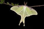 American Moon Moth,  Actias luna, USA, on shrub branch