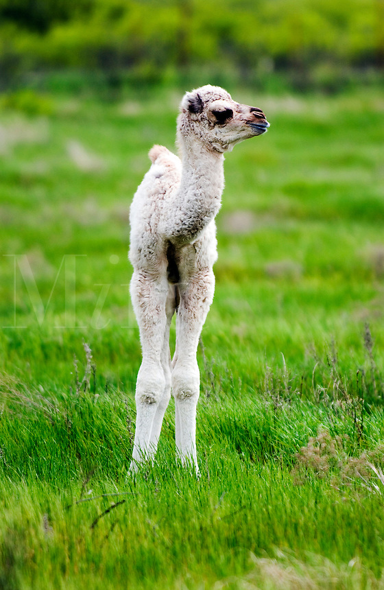Baby camel in a Texas field in the spring.