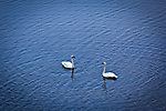Pair of Trumpeter Swans  on a lake, Southcentral Alaska, Summer.