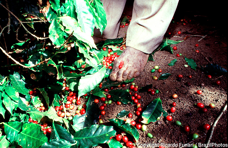 Foot of agricultural worker, farming, coffee plantation, harvesting of red coffee fruits, Brazil.
