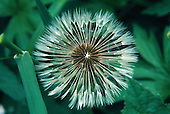 Dandelion, Taraxacum, going to seed in the Upper Peninsula of Michigan.