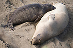 San Simeon, California; a female Northern Elephant Seal (Mirounga angustirostris) rest on the sand nursing her pup, mother's bond with their pups through touch, smell, vocalization and feeding