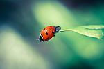 Ladybird Macro