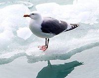 Glaucous-winged gull standing on glacial ice