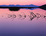 Upper Klamath Basin, OR:  Exposed branches of submerged tree form a perfect mirror reflection on the calm surface of Upper Klamath Lake at Dusk