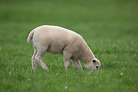Easy care lamb grazing<br /> ©Tim Scrivener Photographer 07850 303986<br />      ....Covering Agriculture In The UK....