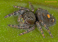 "0419-07xx  Bold Jumping Spider - Phidippus audax ""Atypical"" © David Kuhn/Dwight Kuhn Photography"