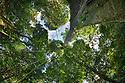 A huge Kapok tree {Ceiba pentandra}, Osa Peninsula, Costa Rica. May.
