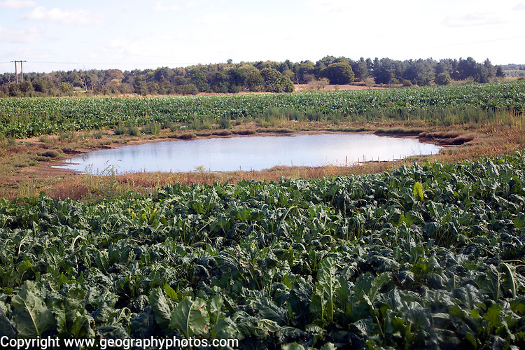 Dew pond in vegetable field, Suffolk, England
