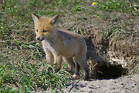 Red Fox Kit standing outside its den