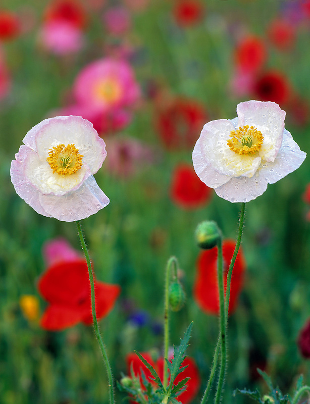 White poppy flowers in garden of mixed poppies. Summer Lake Inn, Oregon