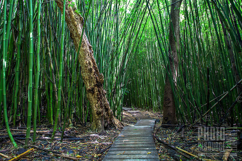 A thick bamboo forest surrounds the Pipiwai hiking trail in Haleakala National Park, Kipahulu, Maui.