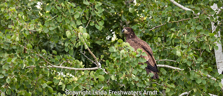 Juvenile bald eagle in northern Wisconsin