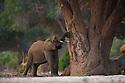 Namibia;  Namib Desert, Skeleton Coast,  desert elephant (Loxodonta africana) eating bark of acacia tree