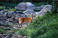 Whitetail Deer, doe standing on the edge of Sandy Stream Pond in Baxter State Park, Maine