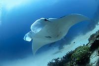 giant oceanic manta ray, Manta alfredi, Raja Ampat, West Papua, Indonesia, Pacific Ocean