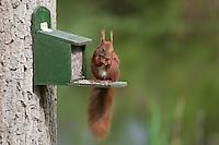 Eichhörnchen, Europäisches Eichhörnchen, holt sich Futter aus einem Futterkasten, Fütterung, füttern, Sciurus vulgaris, European red squirrel, Eurasian red squirrel