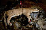 Mountain Lion (Puma concolor) stuffed animal hanging in room with Llama (Lama glama) pelts, considered to bring good luck for the fertility of domesticated livestock, Abra Granada, Andes, northwestern Argentina