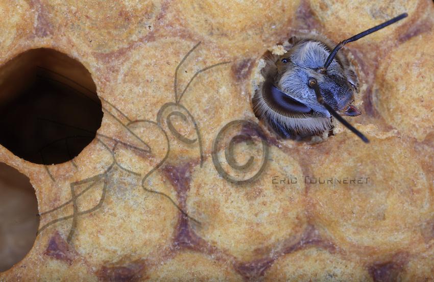 Birth. The young bee, its body not yet pigmented, cuts the wax cap that sealed its cell to get out. ///Naissance. La jeune abeille au corps pas encore pigmenté coupe l'opercule de cire qui refermait sa cellule pour en sortir.