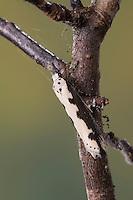 Natternkopf-Grasminiermotte, Nachtfalter - Grasminiermotte, Grasminiermotte, Ethmia bipunctella, Viper's Bugloss Moth, Vipers Bugloss Moth, Bordered Ermel, Bordered Echium Ermel, Grasminiermotten, Elachistidae, Ethmiidae