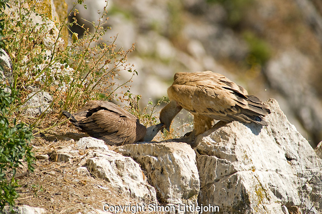 Adult Eurasian Griffon Vulture in nest regurgitating food directly into chicks mouth.