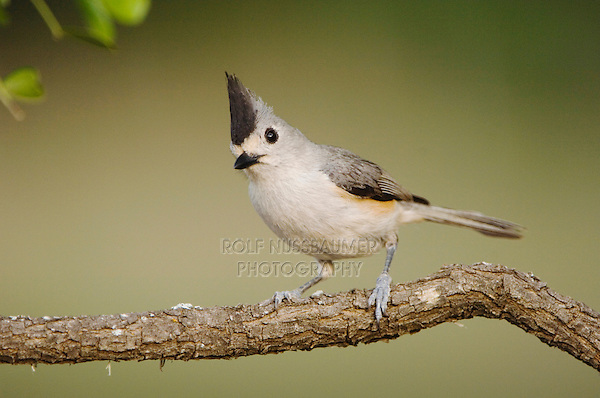 Black-crested Titmouse, Baeolophus atricristatus, adult, Uvalde County, Hill Country, Texas, USA, April 2006