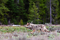 Alpha female of the  Pacific Creek Wolf pack that roams, Grand Teton National Park