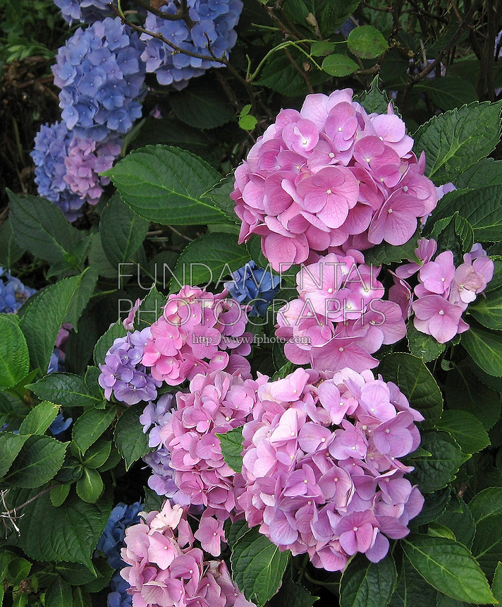 HYDRANGEA FLOWERS.Flower Color Changes According To The Soil pH.Basic soil gives the flowers a pink color, acidic soil makes the flowers blue, lavender flowers grow in soil with a neutral pH.
