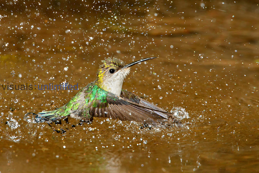 Violet-crowned Woodnymph (Thalurania columbica) flying and splashing in a small stream, Costa Rica.