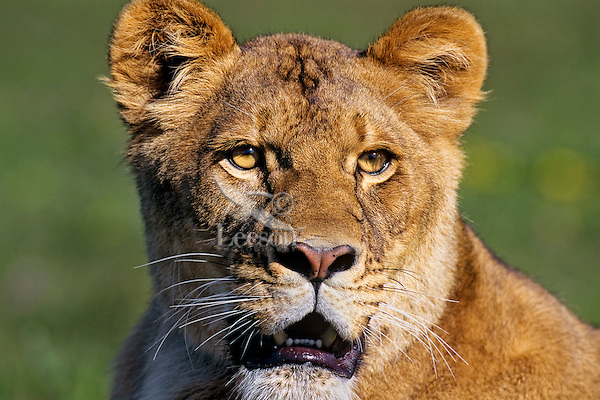 African lioness or female african lion (Panthera leo)