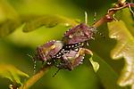 Hairy Shieldbug, Dolycoris baccarum, pair mating, Elmley Marshes, Kent UK, Elmley Nature Reserve