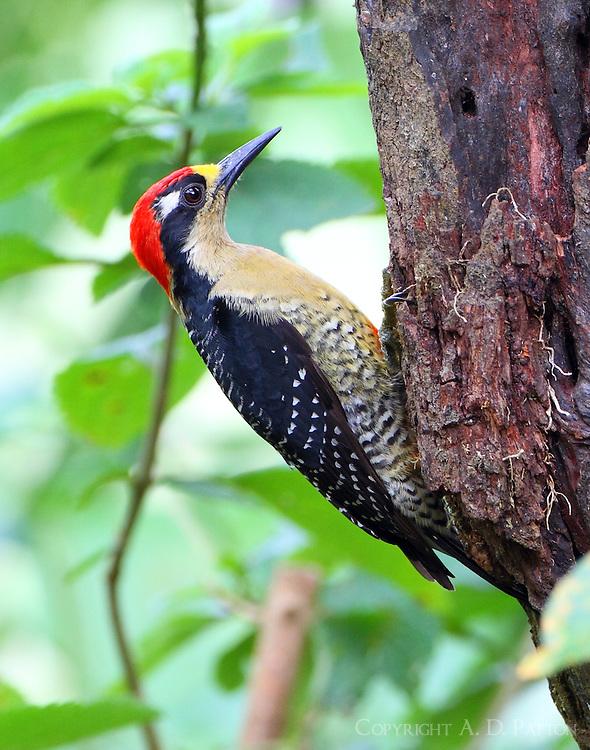 Male black-cheeked woodpecker