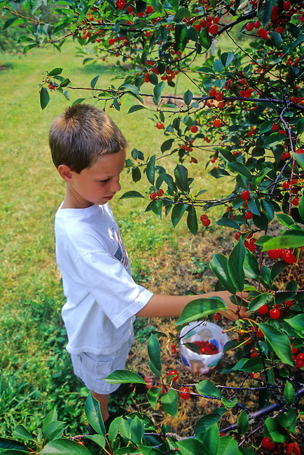 A boy pics cherries at a Sister Bay, Door County, Wisconsin cherry orchard.