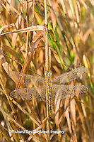 06644-00207  Wandering Glider dragonfly (Pantala flavescens) in early morning dew, Marion Co. IL